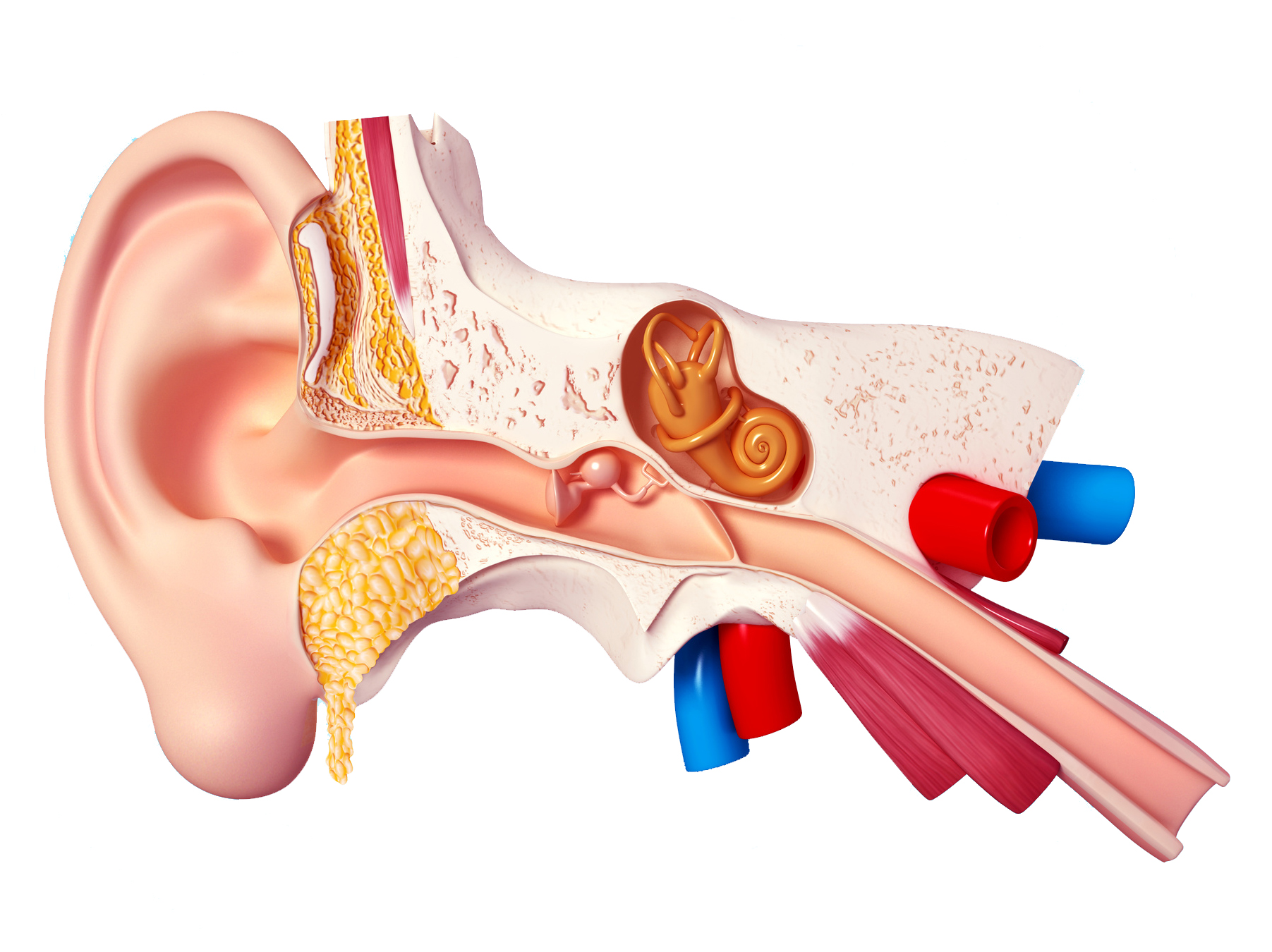 Ear-Anatomy.jpg